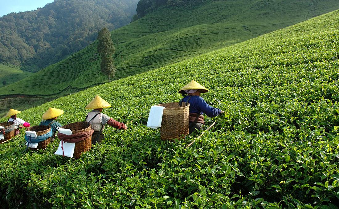 Kenya's tea export drops in January 2021