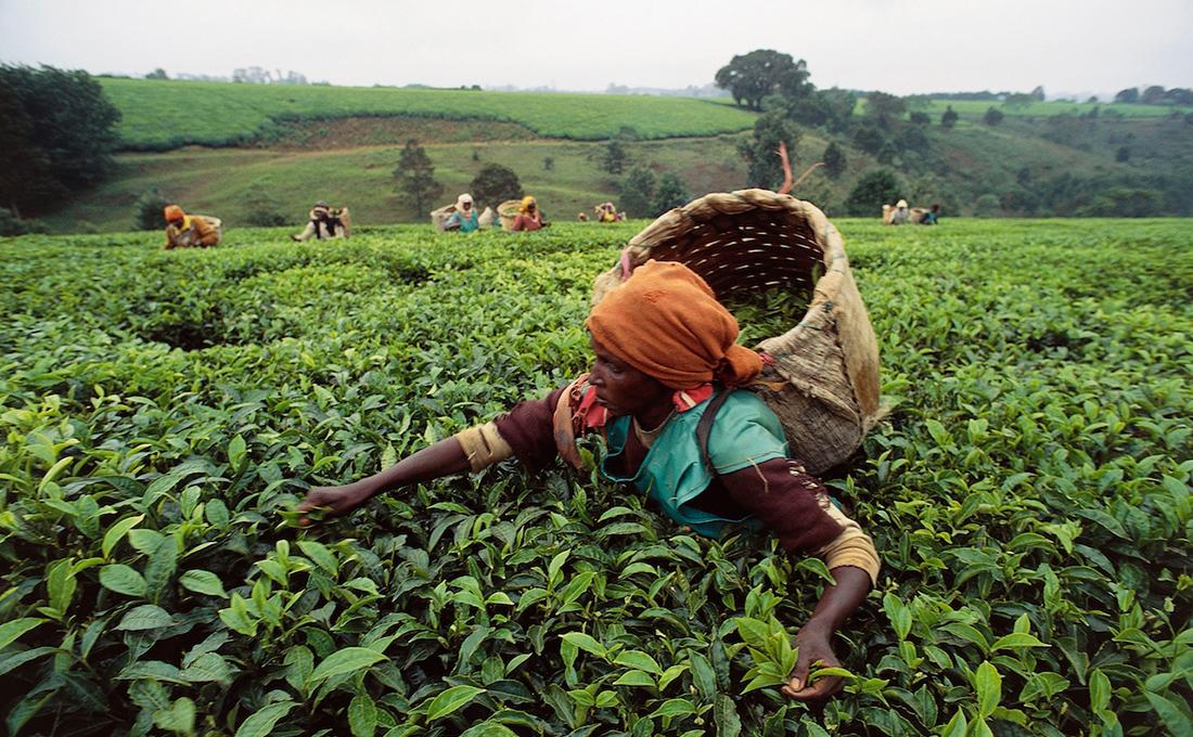 Tea prices dip 12% as high volumes persist