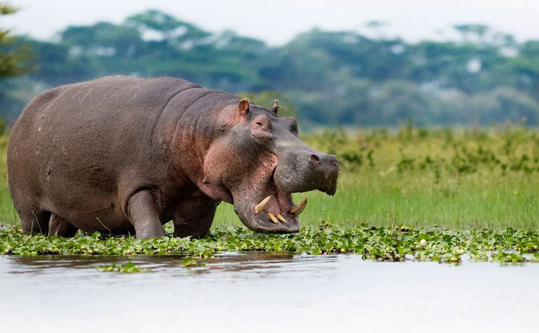 Ten killed as residents grow appetite for Hippo meat