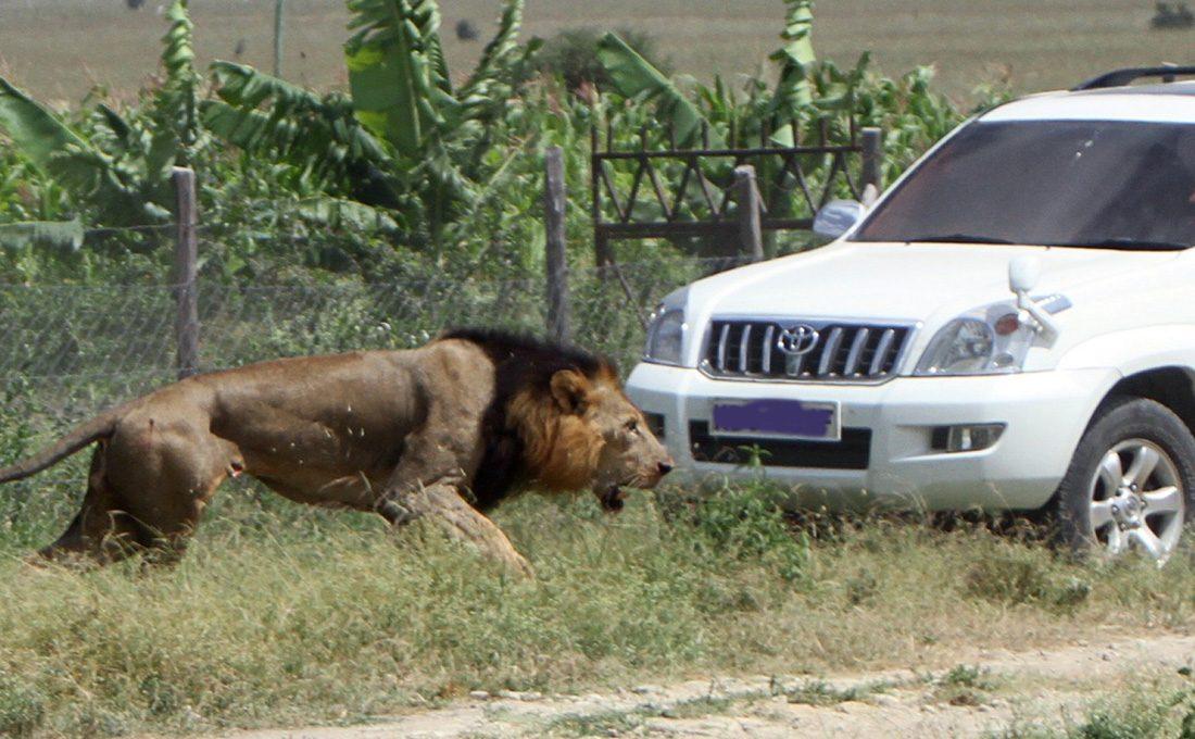 KWS captures Ongata Rongai stray lion