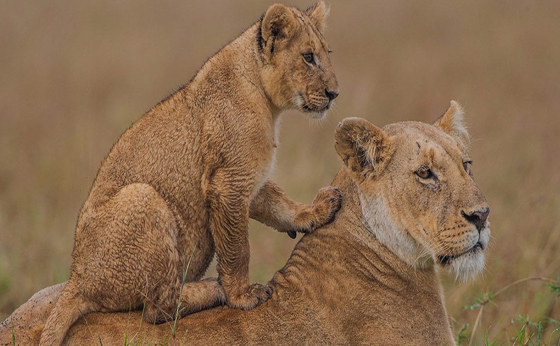 Kenya's lion population up 31% in 13 years