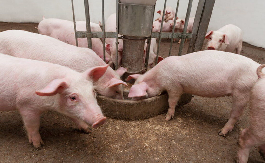 Find out, is pork quality affected by pig welfare?