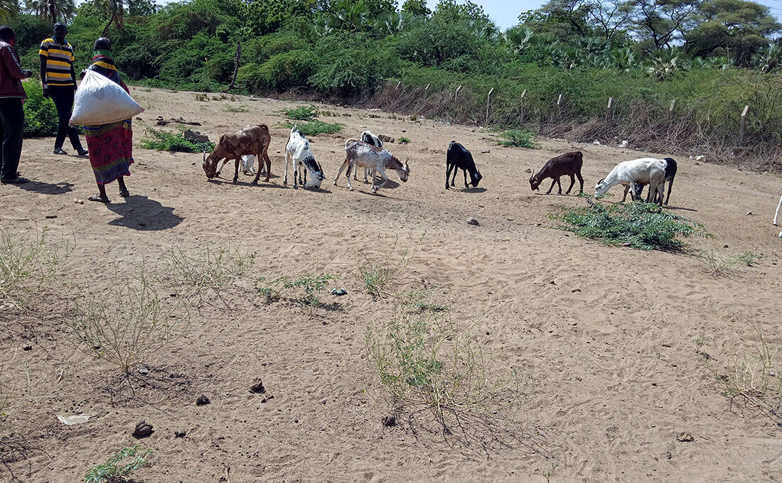Turkana livestock traders forced to explores alternative ways as drought intensifies